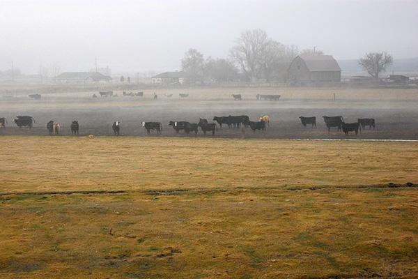Cattle grazes on a farm field in the countryside of Klamath Falls, Oregon