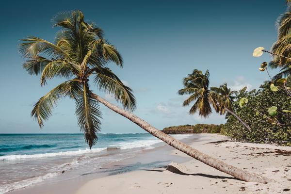 Palm tree leans over the sea on a beach near Le Lamentin in Martinique