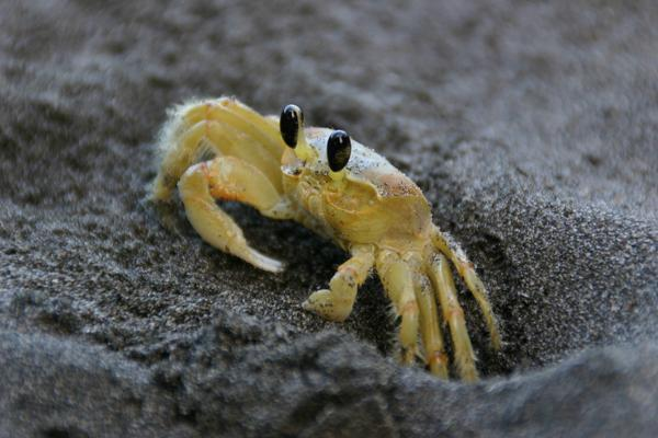 A yellow crab leaves his shelter on a beach in Martinique, West Indies