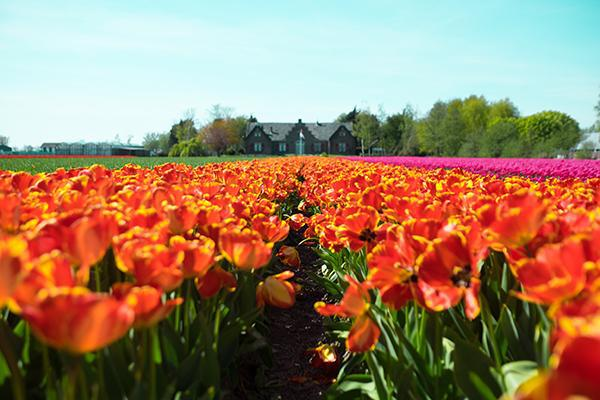 Colourful spring tulips crowd the frame in Lisse, Netherlands