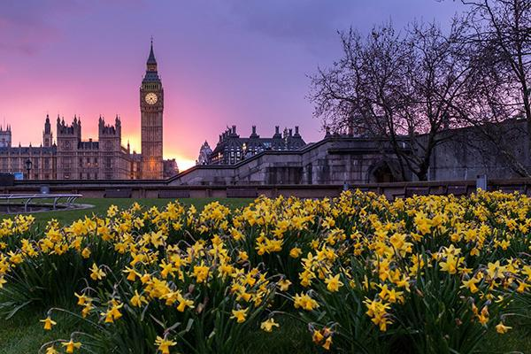Yellow flowers with a backdrop of Big Ben at sunset in London, England