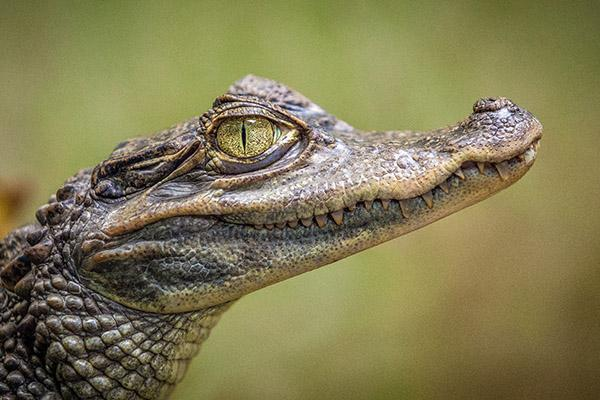 An alligator in the Louisiana bayou looks squarely at the camera
