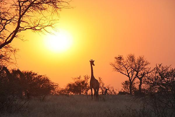A giraffe walking through the Zambian wilderness at sunset