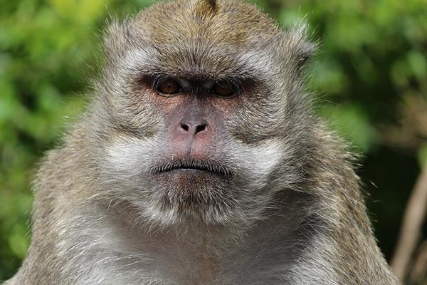 A monkey on the island of Mauritius in East Africa