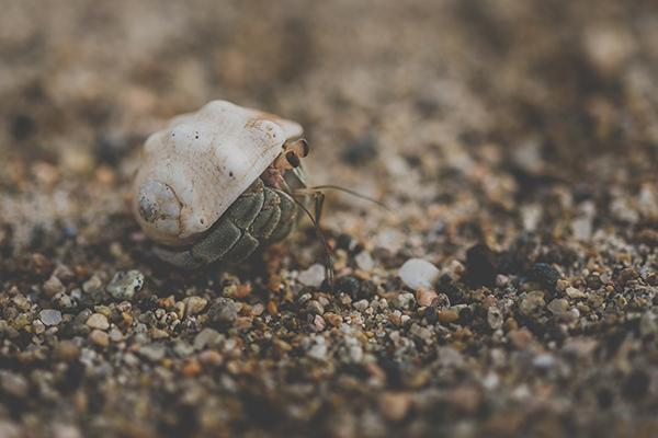 A tiny shelled crab navigates pebbles on the beach of Manzanillo, Mexico