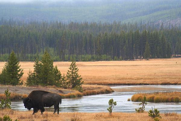 Bison stops beside river in West Yellowstone region