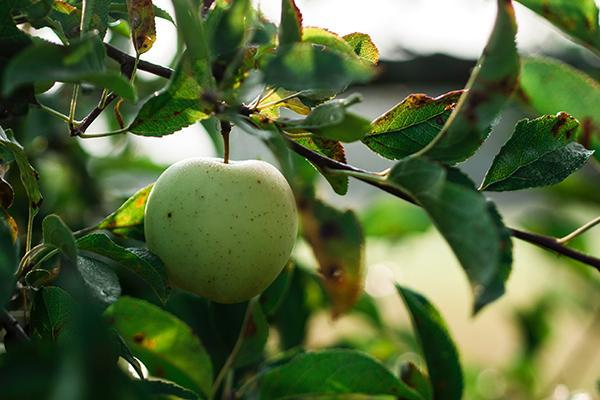 A green apple ready for picking on a lush apple tree in Montrose, Colorado