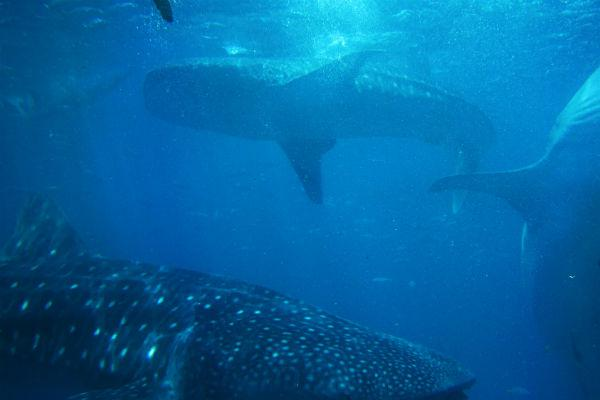 The gentle whale shark is completely harmless to humans, and swimming alongside the biggest fish in the sea is a truly humbling experience.