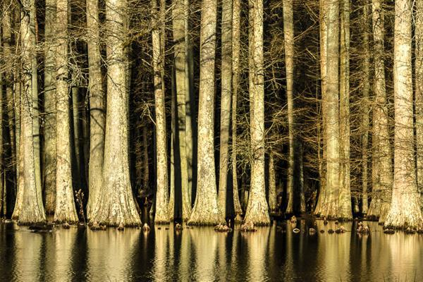 Cypress trees grow in the midst of a lake near Durham, North Carolina