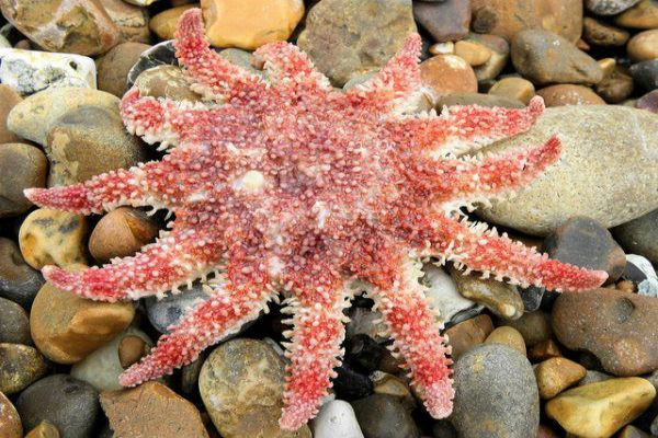The sunstar starfish is just one of the many colourful sea creatures you could spot off the coast near Ullapool.