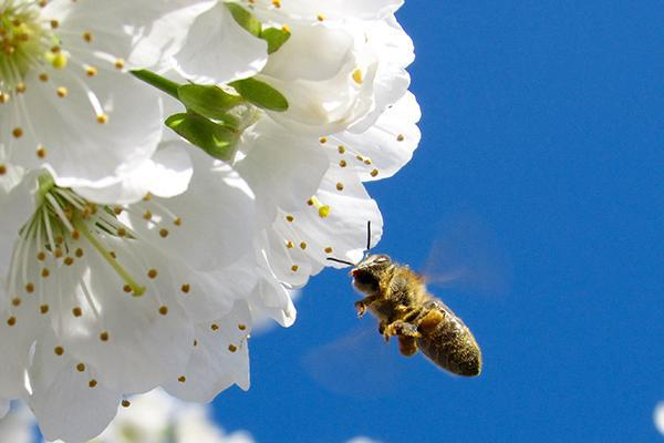 A bee pollinating flowers in Penticton, British Columbia, Canada