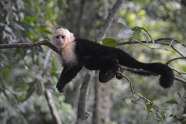 A capuchin monkey sits in a tree in Manuel Antonio National Park near Quepos, Costa Rica