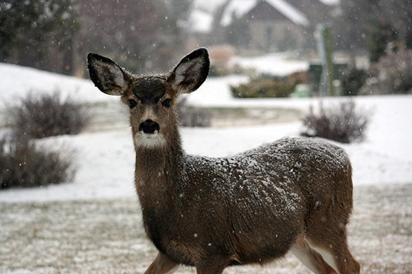 A deer stands in a winter wonderland in the countryside of Redmond, Oregon