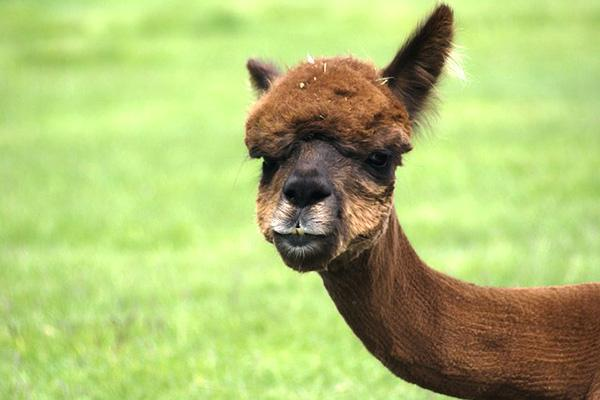 An alpaca stares into the camera from a field of lush green grass in Redmond, Oregon