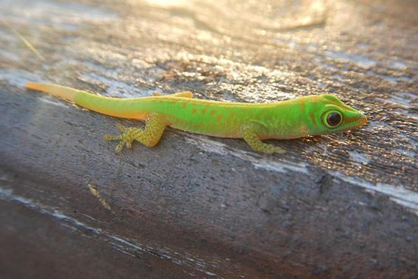 A green gecko suns itself on a dock on the island of Praslin in the Seychelles