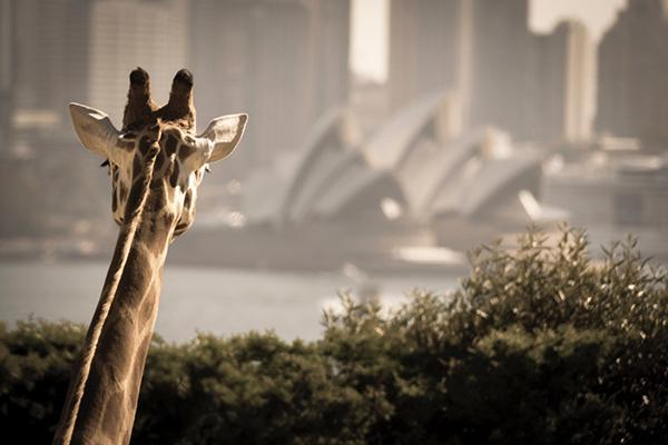 A giraffe peeks over the trees to see the Opera House over the water from Taronga Zoo