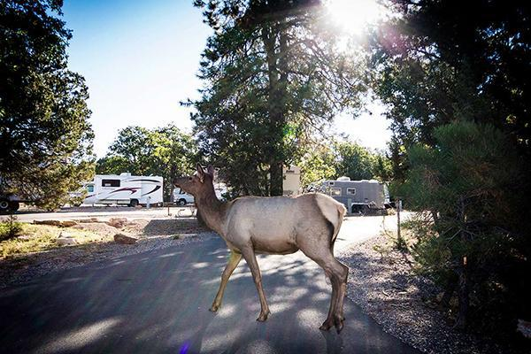 Wildlife crossing the grounds of Trailer Village RV Parks at Grand Canyon