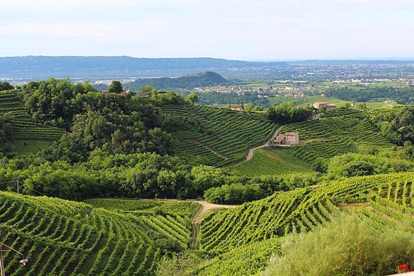 Lush green vineyard hills in Treviso, Italy