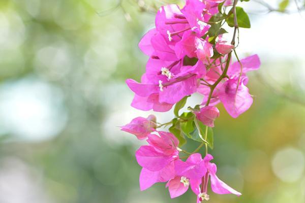 Beautiful pink bougainvillea flower in Santa Cruz, Trinidad and Tobago