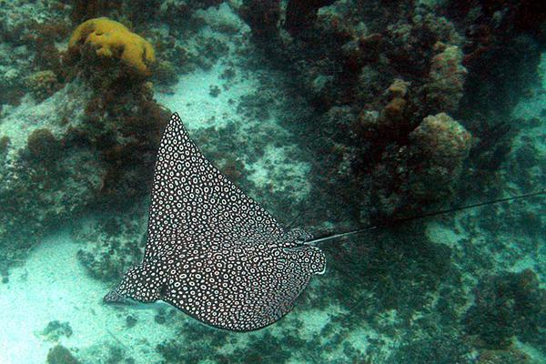 A spotted stingray glides through the teal waters of the Turks and Caicos