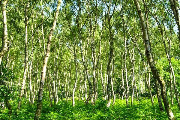 The Sherwood Forest near Nottingham, England