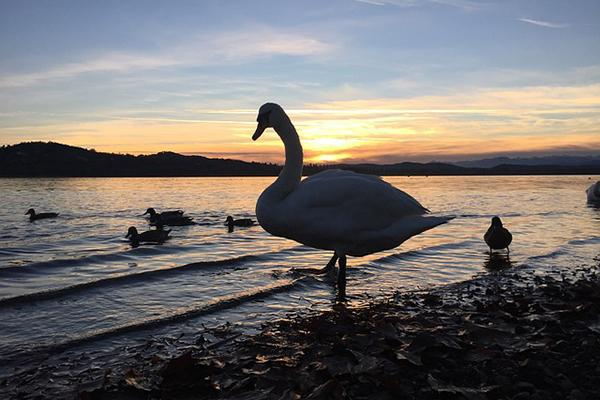 The silhouette of a swan on the shore of a lake at sunset in Varese, Italy