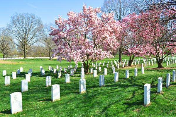 A cherry blossom tree in full bloom at a cemetery of fallen soldiers in Arlington, Virginia