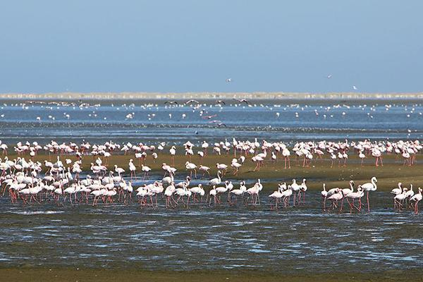 A huge colony of flamingos gather at Walvis Bay Lagoon in Namibia