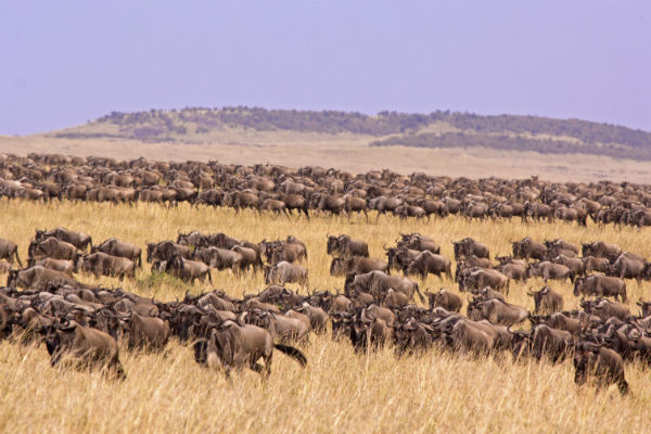 The Great Wildebeest Migration is hands down one of the most spectacular sights on Earth, and a must for those visiting Tanzania.