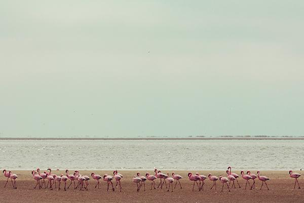 Flamingos line the shore in Windhoek, Namibia