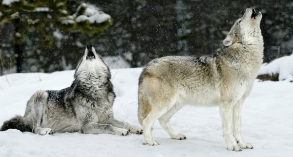 美国房车自驾-黄石公园里的狼