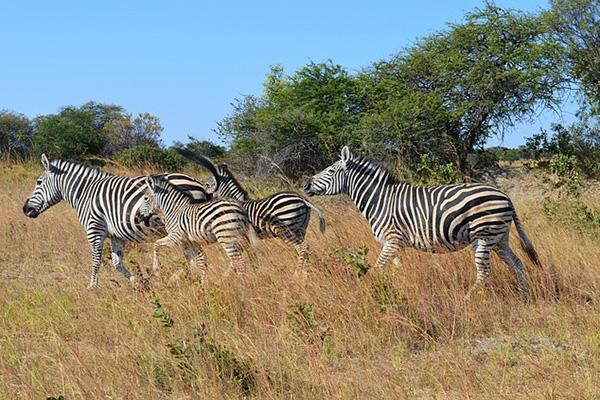 A family of zebras run along in the wilderness of Zimbabwe